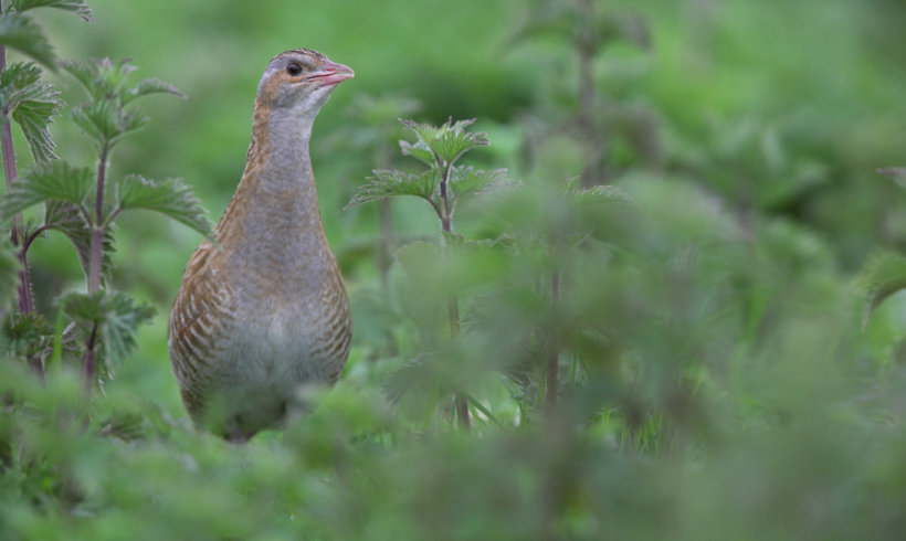 First Corncrake arrives!